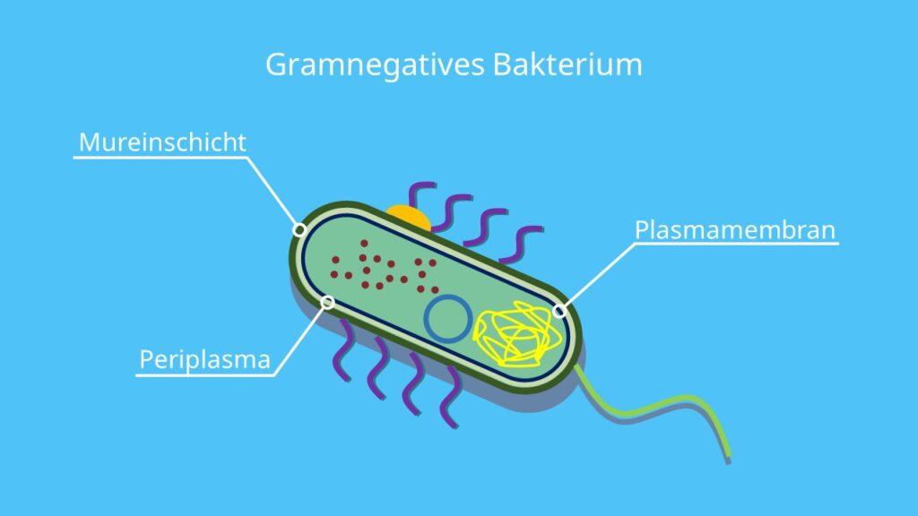 Murein, Peptidoglycan, gramnegativ, Gramfärbung, Bakterium, Gramnegatives Bakterium, Gramfärbung