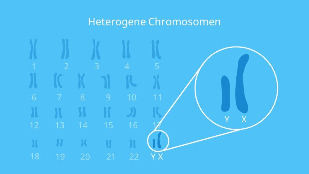 Heterogene Chromosomen, Gonosomen, Chromosomen, X-Chromosom, Y-Chromosom