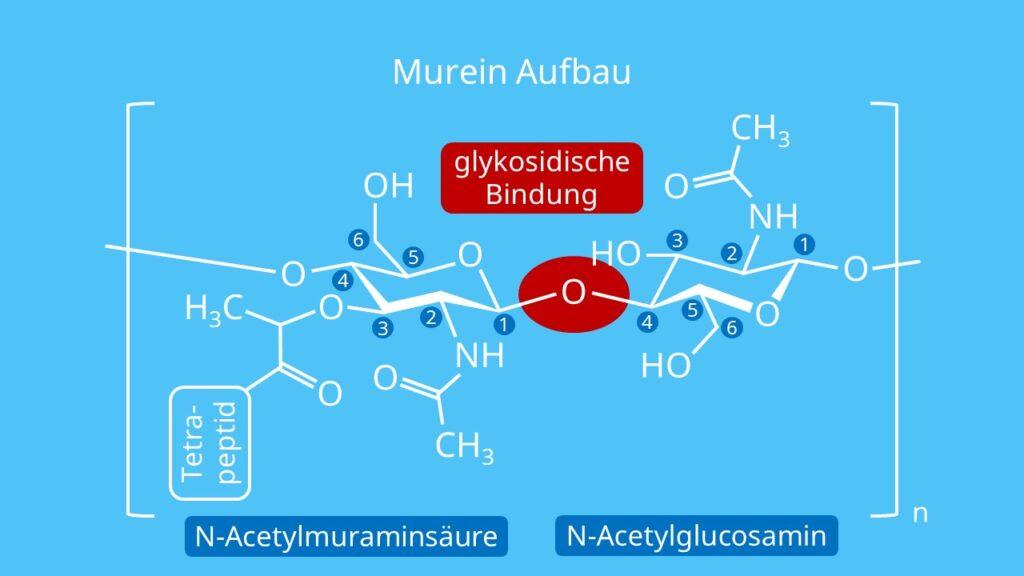 Murein, Peptidoglycan, Murein Aufbau, Mureinsacculus, N-Acetylmuraminsäure, N-Acetylglucosamin, glykosidische Bindung