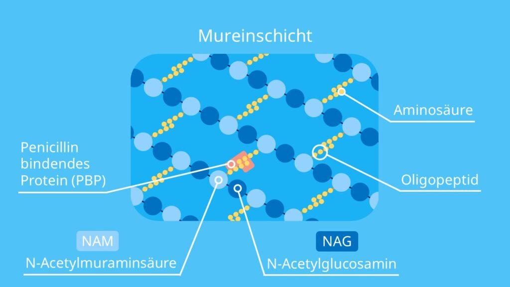 Murein, Peptidoglycan, Murein Aufbau, Mureinsacculus, N-Acetylmuraminsäure, N-Acetylglucosamin, glykosidische Bindung, PBP, Mureinschicht