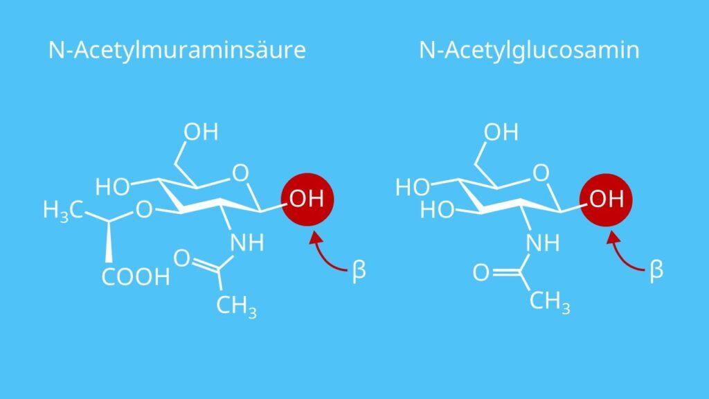 Murein, Peptidoglycan, Murein Aufbau, Mureinsacculus, N-Acetylmuraminsäure, N-Acetylglucosamin