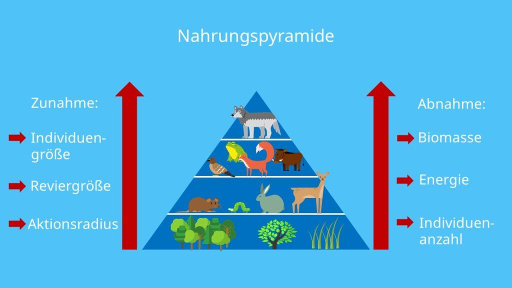 Individuengröße, Reviergröße, Aktionsradius, Biomasse, Energie, Individuenzahl, Reproduktionsrate, Nachkommenzahl, Nahrungsbeziehungen