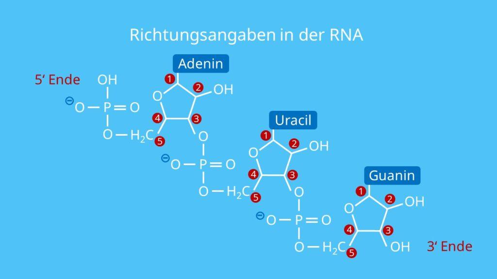 Richtungsangaben in der RNA, Phosphatrest, Hydroxylgruppe, Bau der RNA