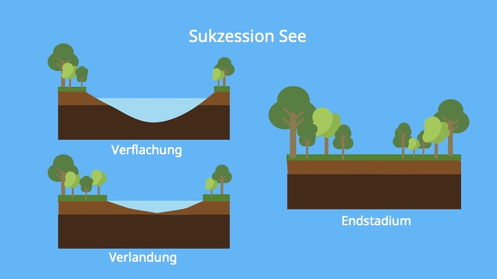 Sukzessionsstadien, Initialphase, Folgephasen, Klimaxstadium, Biologie, Ökologie, Ökosystem