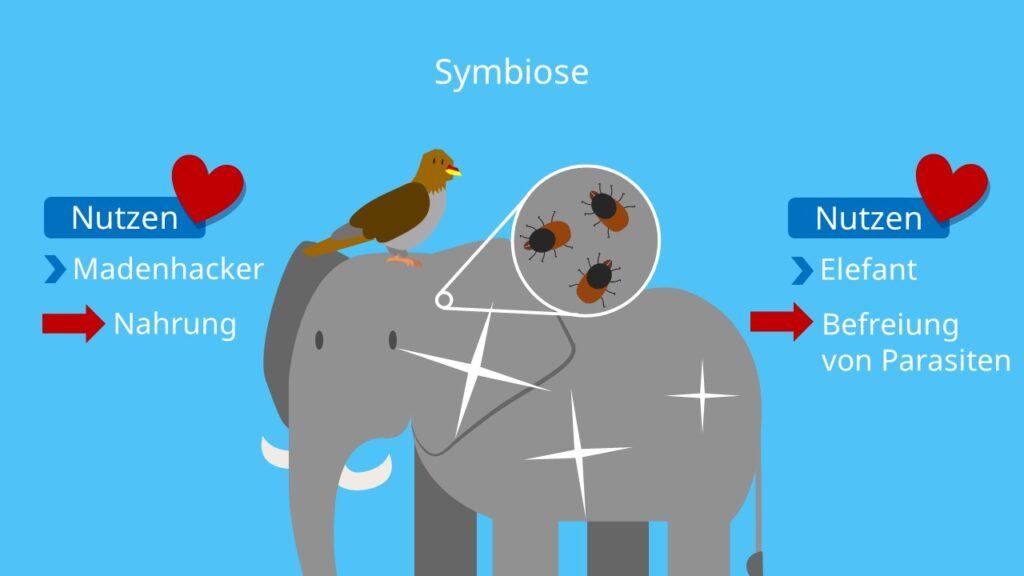 Symbiose, biotischer Faktor, interspezifische Beziehung, Zusammenleben, Vorteil für beide Arten, Elefant, Madenhacker, Putzsymbiose