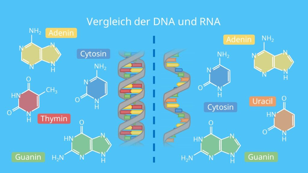 Vergleich der DNA und RNA, Doppelhelix, Doppelstrang, Einzelstrang, Ribose, Desoxyribose, Uracil, Thymin