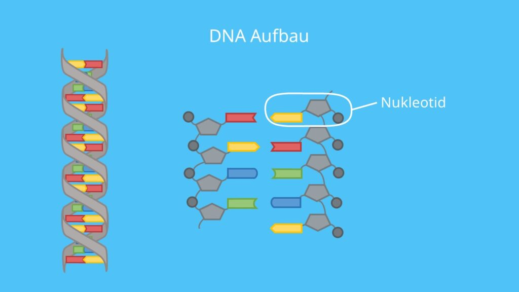 DNA, RNA, Nukleotide, DNA Basen, Proteinbiosynthese, Gen, Phosphat, Doppelhelix, Desoxyribose