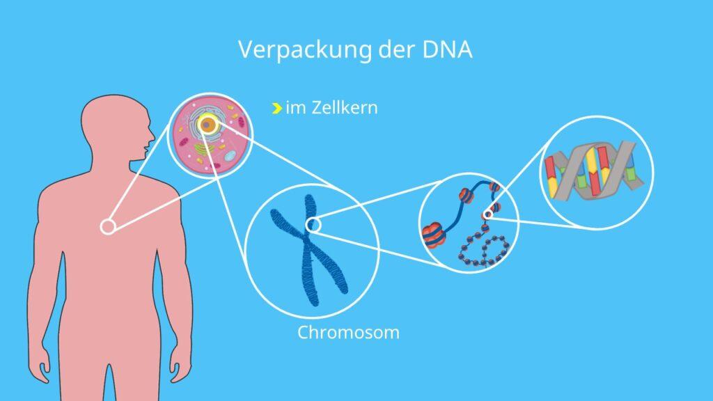 mRNA, DNA, RNA Polymerase, Matrizenstrang, Zellkern, Nukleotide, DNA Basen, Proteinbiosynthese