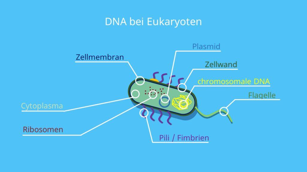 Bakterienchromosom, Plasmid, ringförmig, Doppelstrang, Cytoplasma, Zellplasma, Zellkern, Chromosom, Histone
