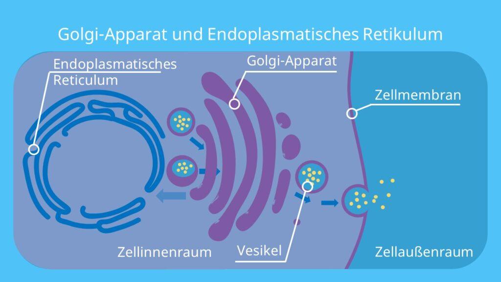 ER, Endoplasmatisches Retikulum, Golgi-Apparat, Vesikel, Endozytose, Exozytose
