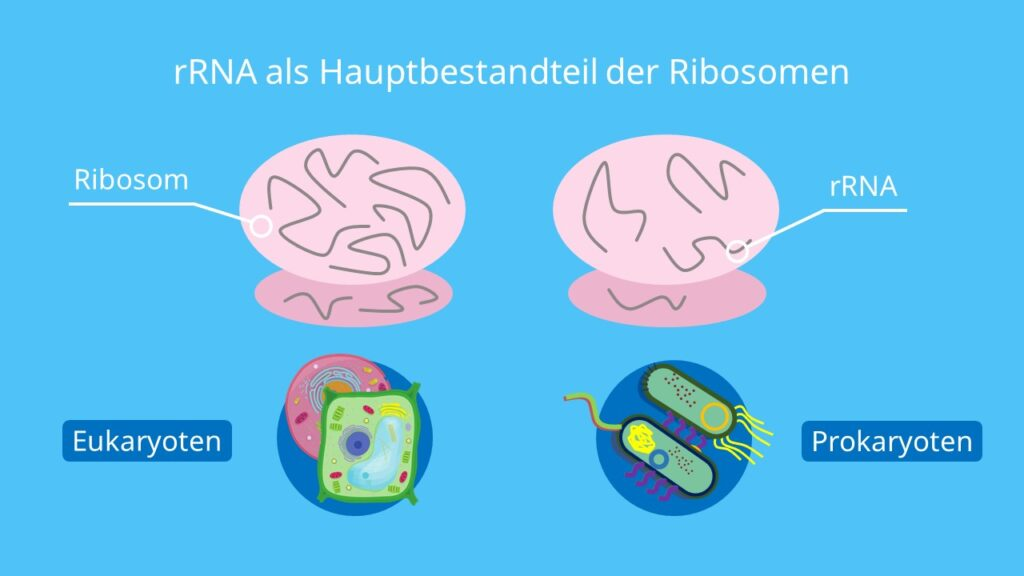 rRNA als Hauptbestandteil der Ribosomen, Ribsomen, rRNA, Proteinbiosynthese, Translation, Transkription, Eukaryoten, Prokaryoten