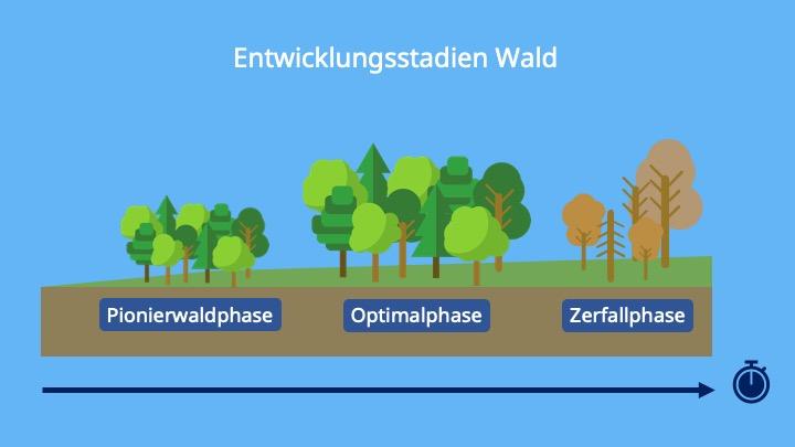 Pionierwaldphase, Optimalphase, Zerfallphase, Sukzession, Entwicklung