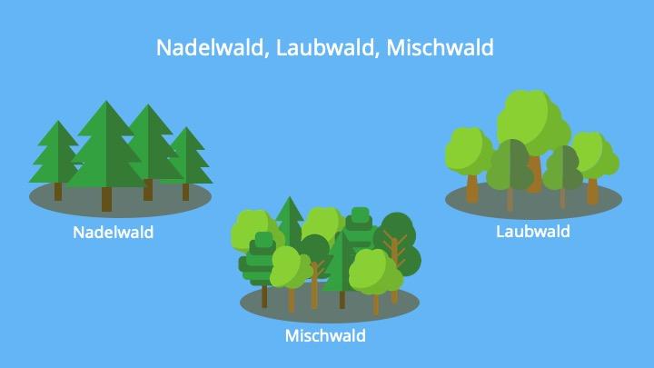 Einteilung von Baumarten, Ökosystem Wald, Biozönose, Bäume, Laubbaum, Nadelbaum