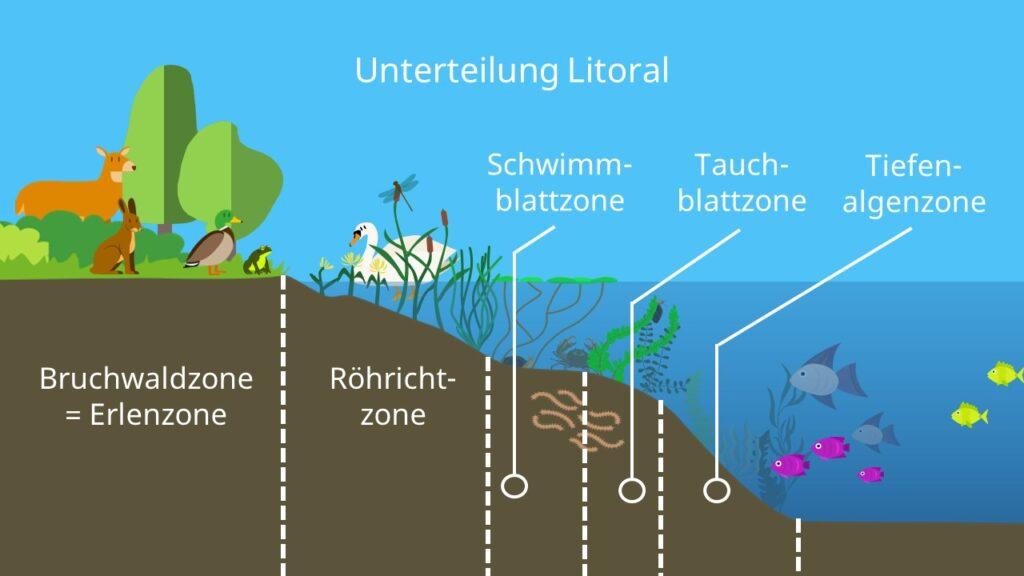 Uferzone, Bruchwaldzone, Erlenezone, Röhrichtzone, Schwimmblattzone, Tauchblattzone, Tiefalgenzone, Vegetationszonen am Seeufer, Uferzone, Ökosystem See