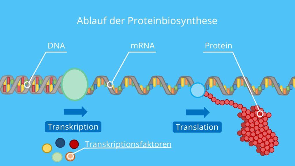 Ablauf der Proteinbiosynthese, Transkription, Transkriptionsfaktoren, Translation DNA, mRNA, Protein, Ribosom