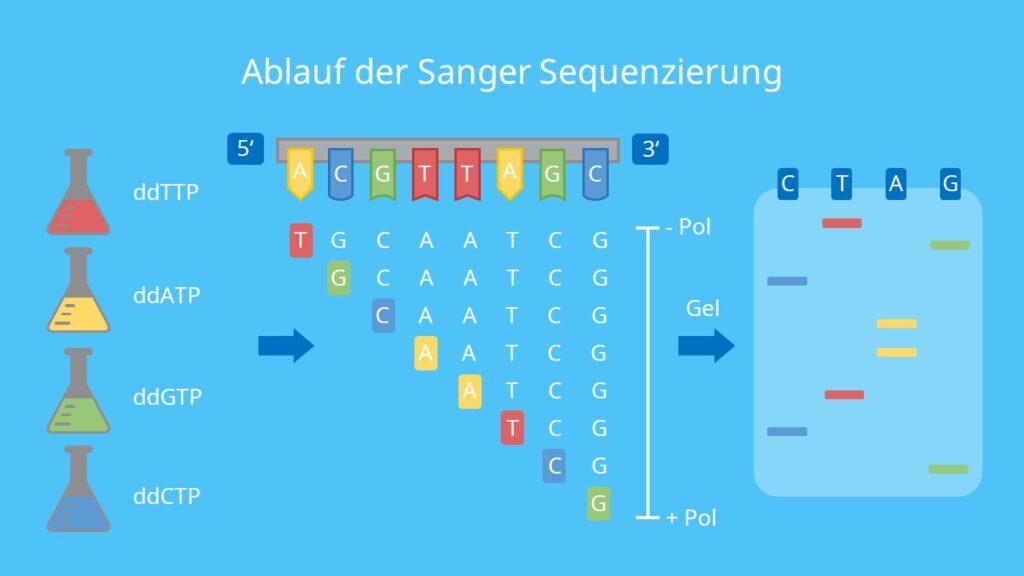 Ablauf der Sanger Sequenzierung, Gelelektrophorese, Fluoreszenz, Laser, Adenin, Thymin, Guanin, Cytosin, DNA Sequenzierung, Sanger Sequenzierung