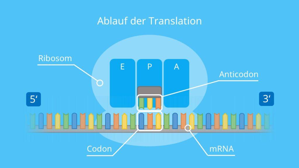 Ablauf der Translation, tRNA, Ribosom, mRNA, Codon, Aminosäure, Protein, Proteinbiosynthese