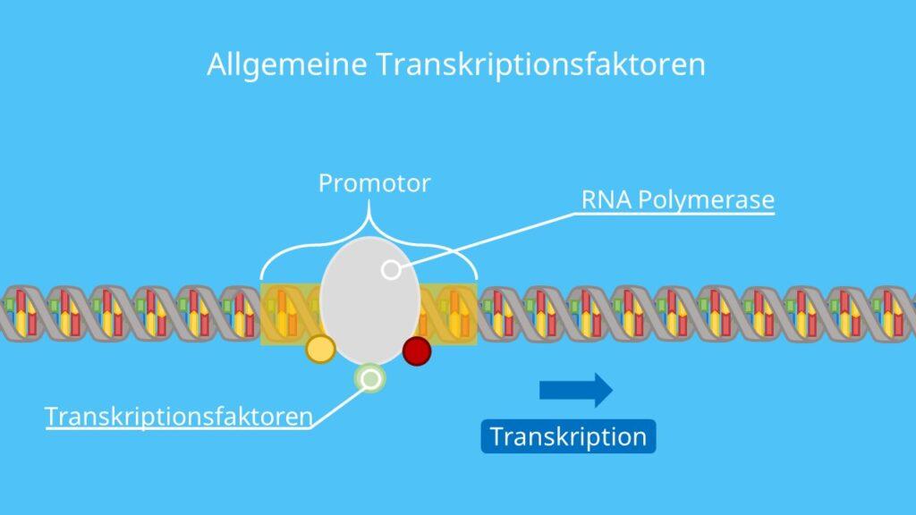 Allgemeine Transkriptionsfaktoren, Transkription; Genregulation, RNA Polymerase, Gen, Transkriptionskomplex