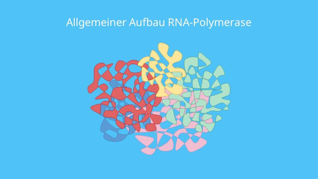 Allgemeiner Aufbau RNA-Polymerase, RNA Polymerase, DNA, RNA, Transkription, Untereinheit, Eukaryoten, Prokaryoten
