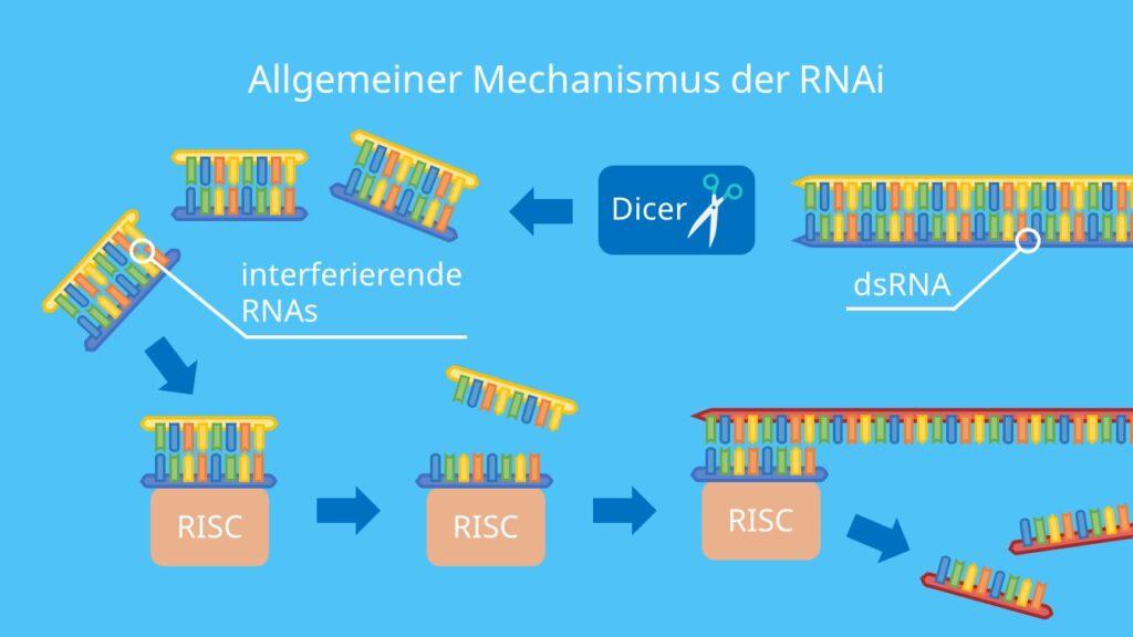 Allgemeiner Mechanismus der RNAi, siRNA, miRNA, RNAi, RNA, Risc, Dicer, RNAi, RNA Interferenz