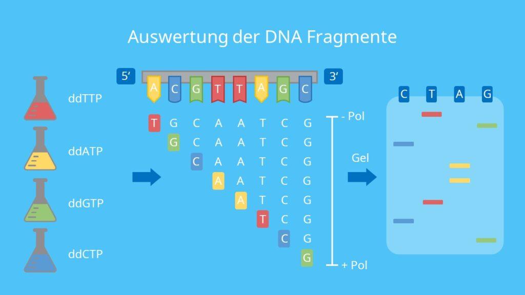 Auswertung der DNA Fragmente, Gelelektrophorese, Fluoreszenz, Laser, Adenin, Thymin, Guanin, Cytosin, DNA Sequenzierung, Sanger Sequenzierung