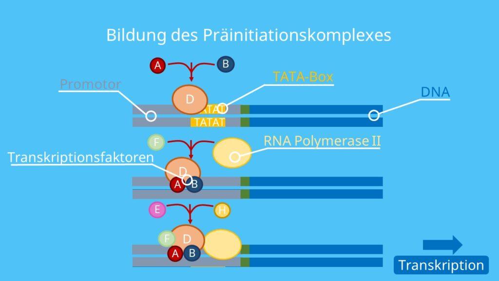Transkription; Genregulation, RNA Polymerase, Gen, Transkriptionskomplex, Initiation