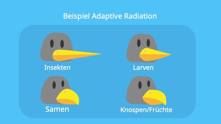Schnäbel verschiedener Darwinfinken-Arten; Anpassung, Auffächerung, Arten, Biologie, Vögel