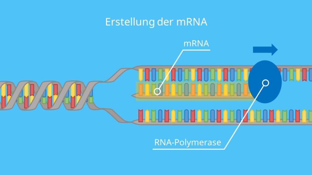 Erstellung der mRNA, Transkription, Proteinbiosynthese, DNA, RNA, RNA-Polymerase