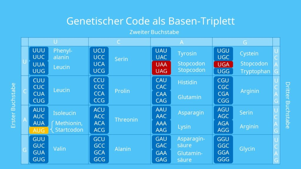 Genetischer Code als Basen-Triplett, Codon, Aminosäure, Protein, Proteinbiosynthese, genetischer Code, redundant, universell, degeneriert