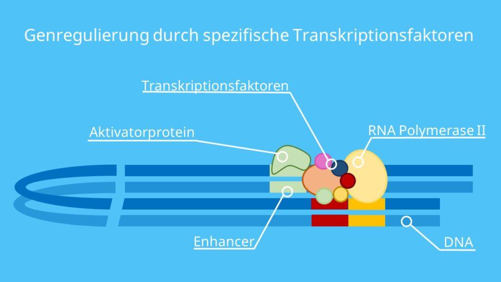 Enhancer, Silencer, RNA-Polymerase, DNA, Transkription, Proteinbiosynthese, Transkriptionsrate