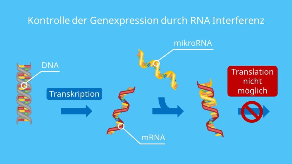 Kontrolle der Genexpression durch RNA Interferenz, siRNA, miRNA, RNAi, RNA, Risc, Dicer, RNAi, RNA Interferenz