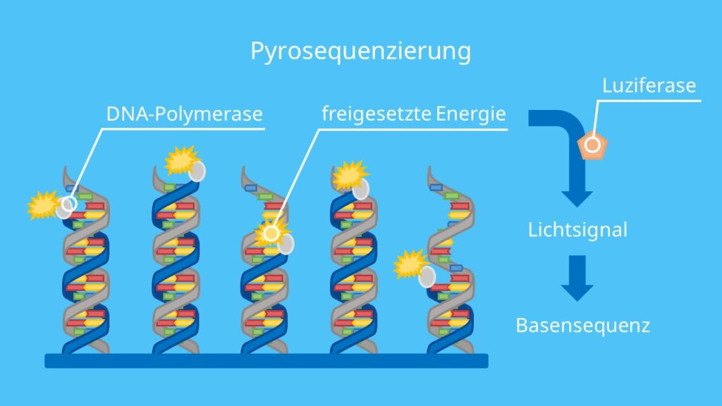 Pyrosequenzierung, Adenin, Thymin, Guanin, Cytosin, DNA Sequenzierung, Biolumineszenz, DNA Polymerase, Luziferase, DNA, DNA Basen, Pyrophosphat
