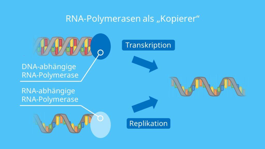 """RNA-Polymerasen als """"Kopierer"""", DNA, RNA, Transkriptionsfaktoren, Replikation, Transkription"""