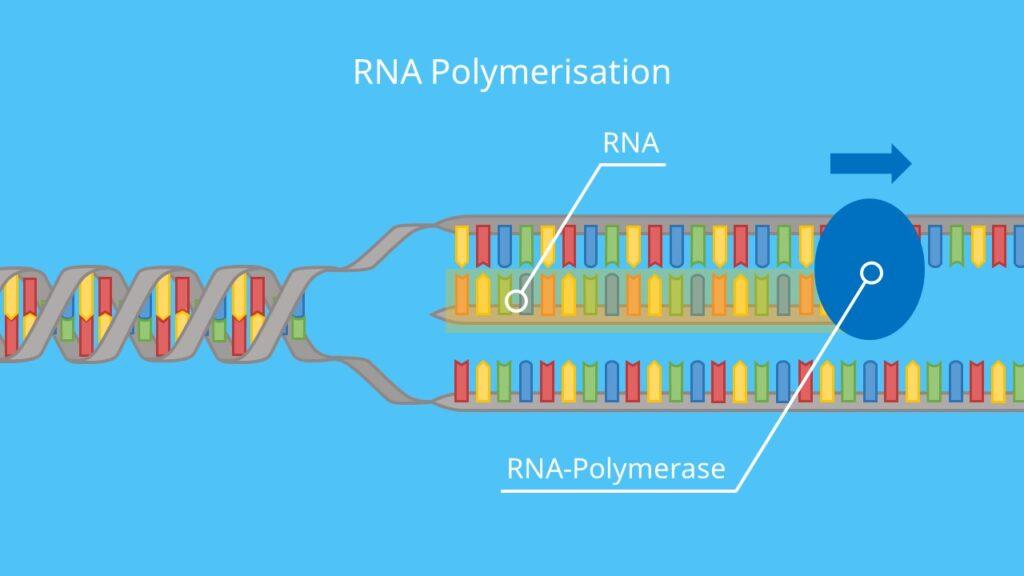 RNA Polymerisation, Transkription, Proteinbiosynthese, DNA, RNA, RNA-Polymerase