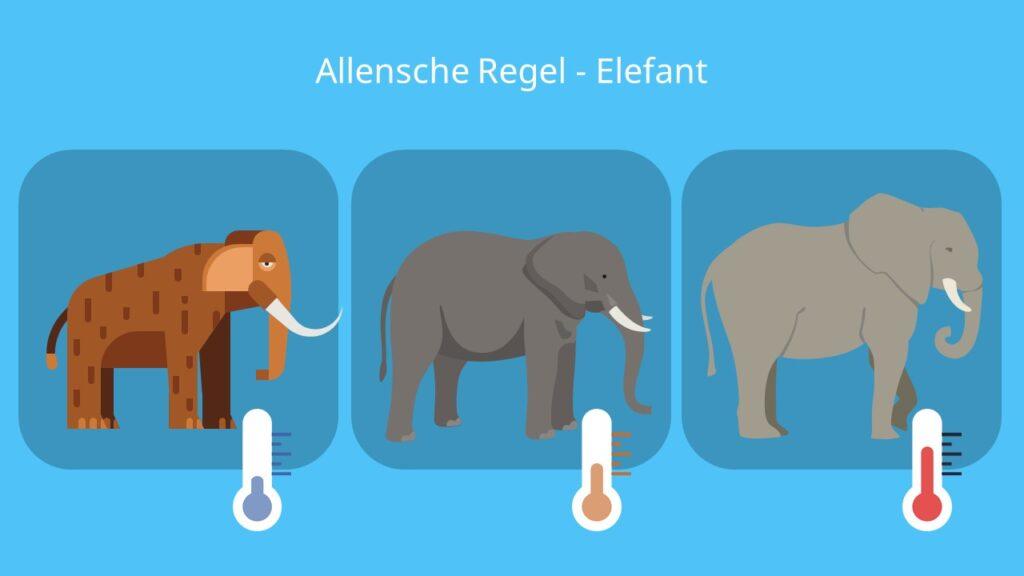 Allensche Regel Elefant; Alt-Text: Beispiel, Beispiele, Klimaregel, Allen Regel, afrikanischer Elefant, indischer Elefant, Mammut