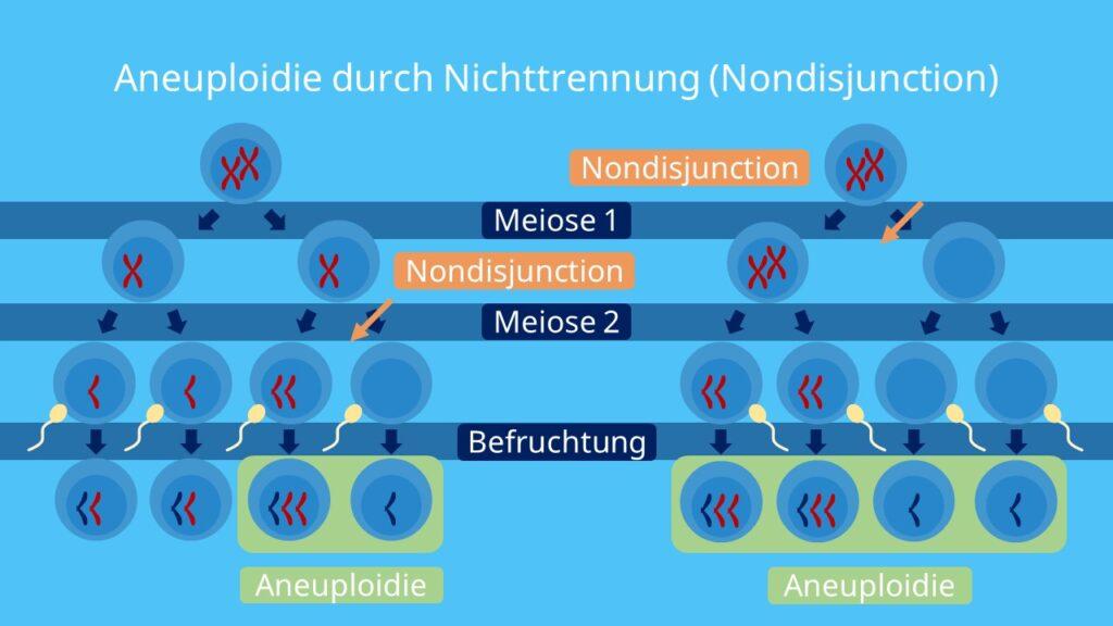 Aneuploidie durch Nichttrennung (Nondisjunction), Meiose, Genommutation, Aneuploidie, Chromosomen, Reduktionsteilung, Äquationsteilung, diploid, haploid