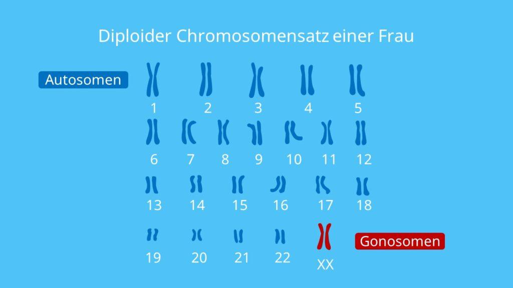 Diploider Chromosomensatz einer Frau, homologe Chromosomen, Genommutation, Genom, Polyploidie, Gonosomen, Autosomen