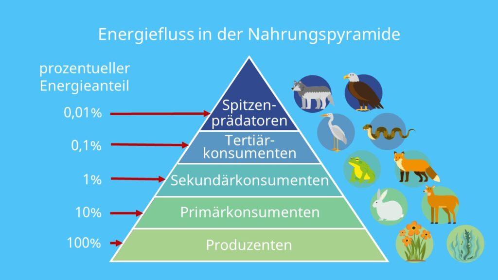 Produzenten, Destruenten, Konsumenten, Sonnenenergie, Biomasse, Pyramide, Ökosystem, Tiere, Pflanzen