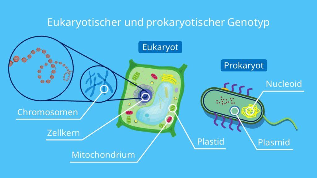 Eukaryotischer und prokaryotischer Genotyp, Eukaryoten, Prokaryoten, Gene, Genotyp, DNA, Plasmid, Chromosom, Zellkern, Zellplasma