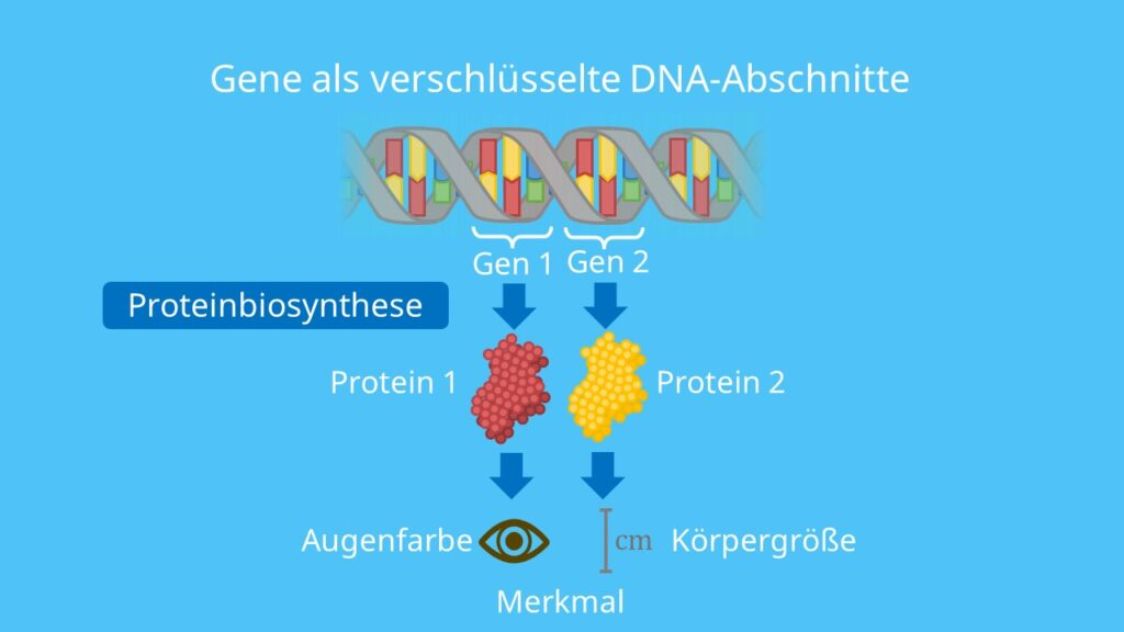 Proteinbiosynthese, Gen, Gene, genetischer Code, Translation, Transkription, Basensequenz