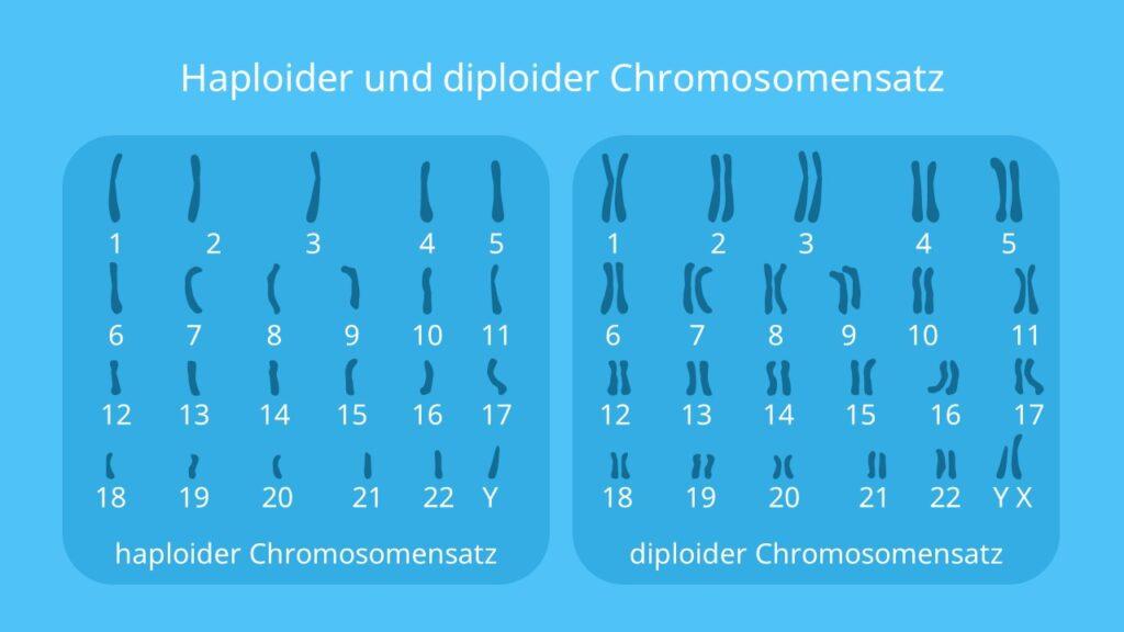 Chromosomensatz, haploid, diploid, homologe Chromosomen