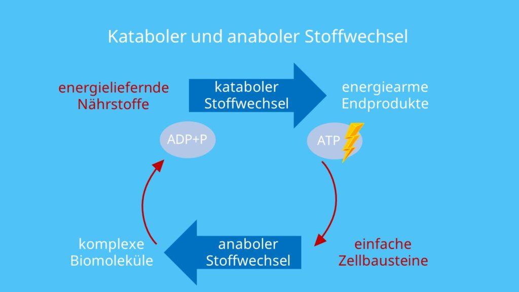 Metabolismus, ATP, Katabolismus, Anabolismus