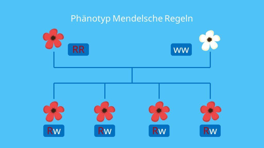 Phänotyp Mendelsche Regeln, Phänotyp, phänotypisch, Mendelsche Regeln, Uniformitätsregel, rezessiv, dominant, homozygot