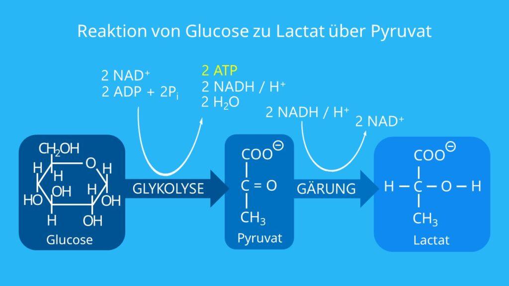 Glucose, ATP, Glykolyse und Milchsäuregärung, NADH/NAD+, Brenztraubensäure, Stoffwechsel, Gärung, Katabolismus