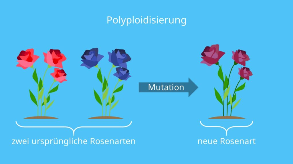 Allopolyploidisierung,Artbildung, Mutation, Chromosomensatz, Neue Art entsteht