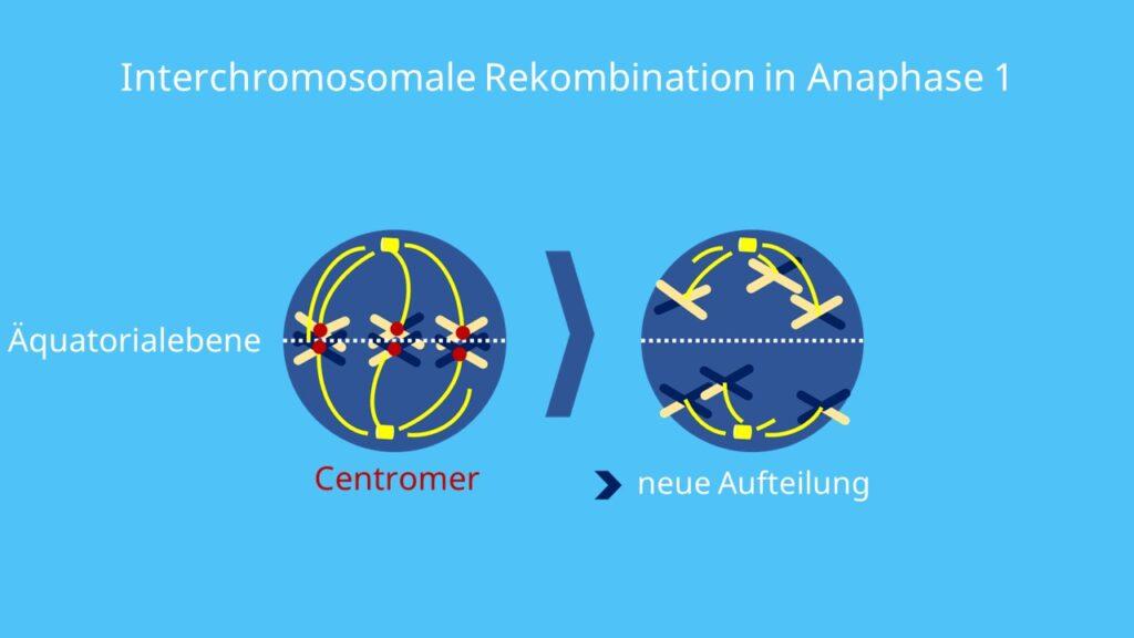 Homologe Rekombination, Nicht-homologe Rekombination, Doppelstrangbruch, DNA-Reparatur