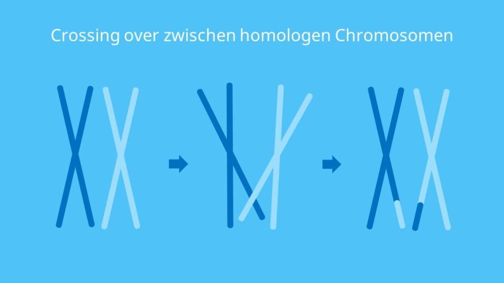 Chromosomen, crossing over, crossover, Rekombination
