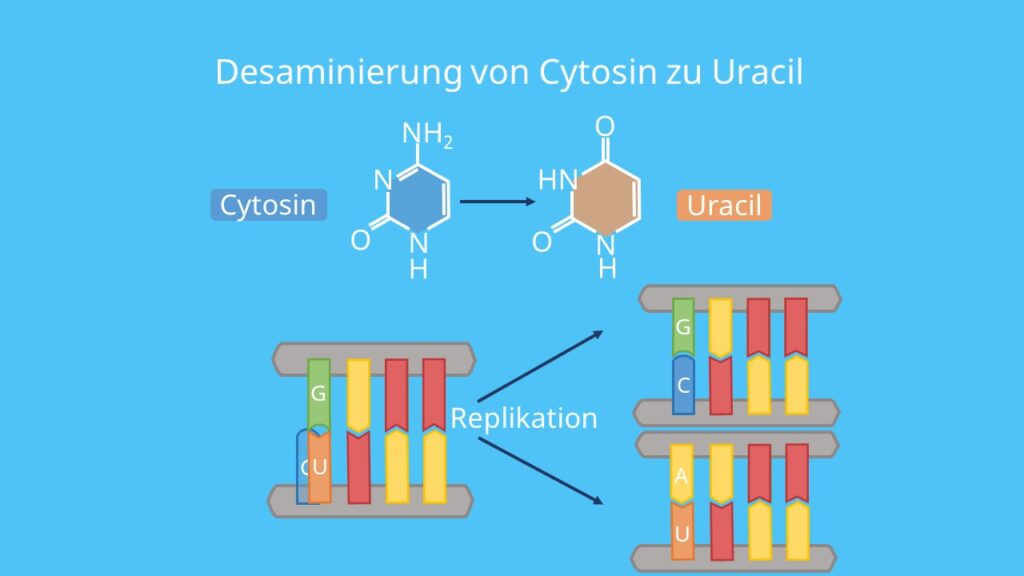 Genmutation, Mutagene, chemische mutagene, Nitrosamine, salpetrige Säure, Cytosin, Uracil, DNA Replikation