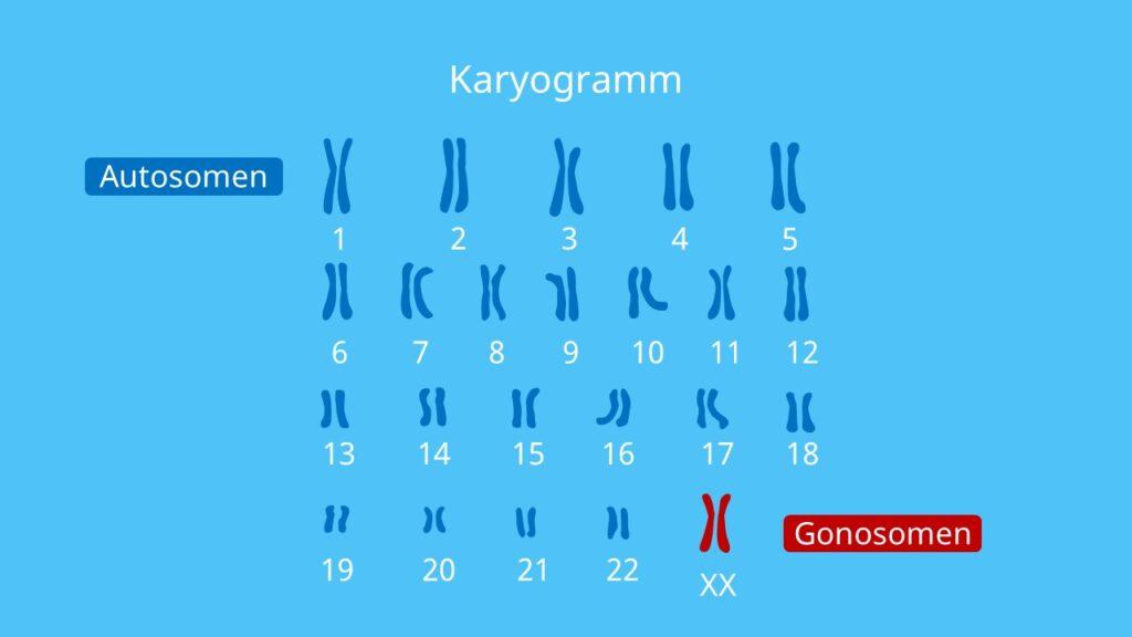 homologe Chromosomen, Genommutation, Genom, Polyploidie, Gonosomen, Autosomen