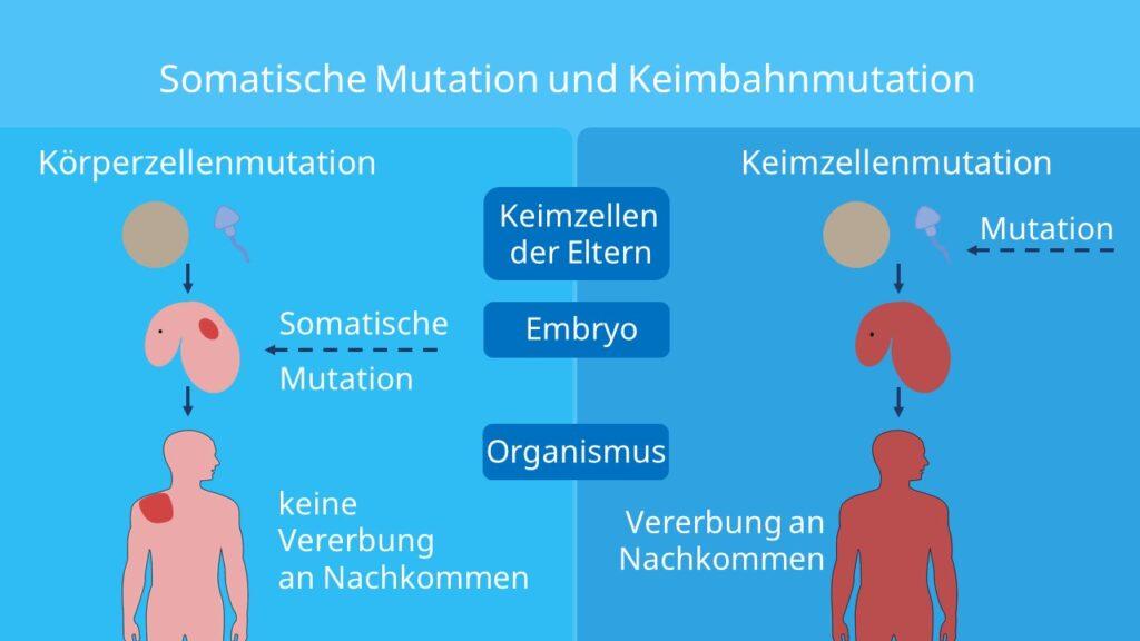 Keimbahnmutation, somatische Mutation, Meiose, Mitose Keimzellen, Körperzellen, Vererbung, Mensch